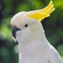 cockatoo-(1)